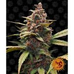 barney-s-farm-ayahuasca-purple_Img_Principale_27307