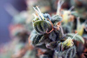 Cosa sono i terpeni e i tricomi nella pianta di cannabis