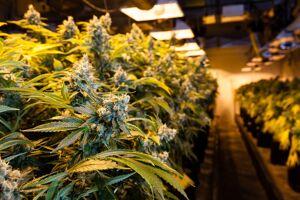 15 errori da evitare quando si coltiva cannabis