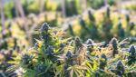 coltivazione corretta della cannabis all'esterno o outdoor