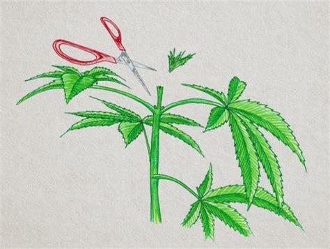 Esempio illustrato di una pianta di cannabis