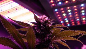 coltivazione di cannabis con lampade a LED