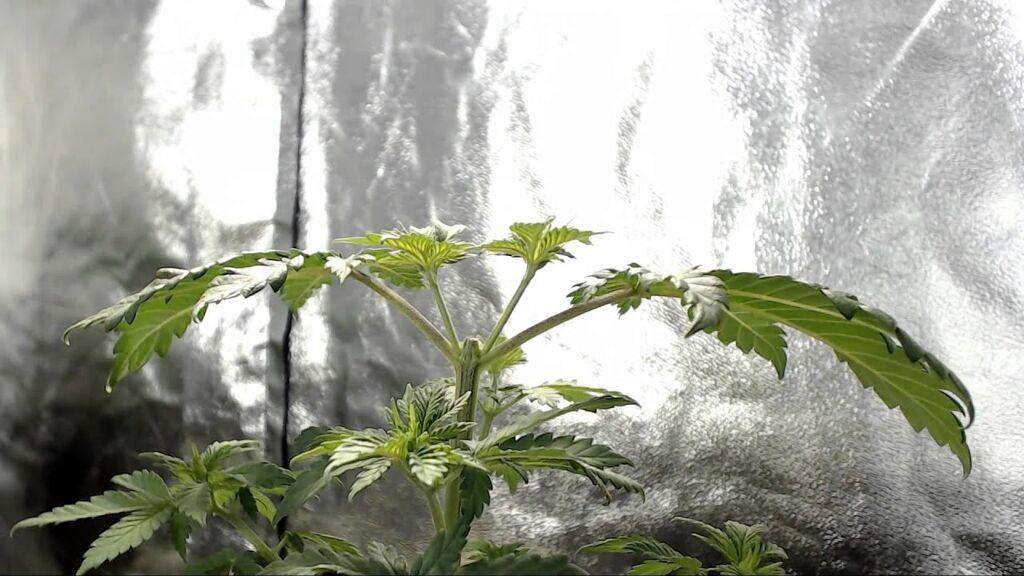 Esempio di una cimatura su una pianta di cannabis
